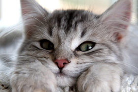 При стерилизации кошки либо кастрации кота в подарок упаковка лакомства