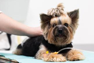 Болезни сердца у собак икошек: как не опоздать слечением