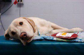 Гемотрансфузия (переливание крови) у животных