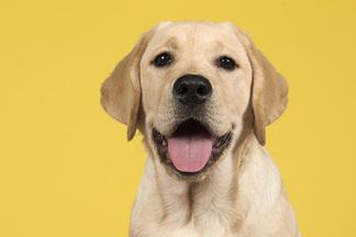 Дисплазия — проблема молодых собак. Как предотвратить разрушение суставов у питомца?