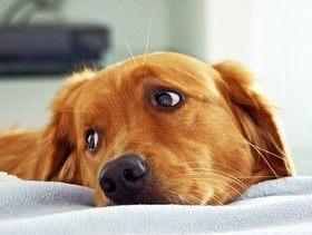 У собаки «текут» глаза