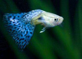 Гуппи: радуга в аквариуме