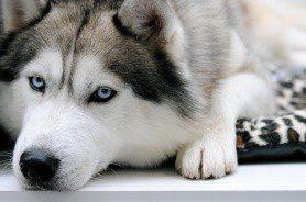 Сибирский хаски: обаяние и непритязательность