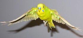 Безопасность попугая в доме