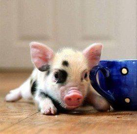 Знакомимся: мини-пиги