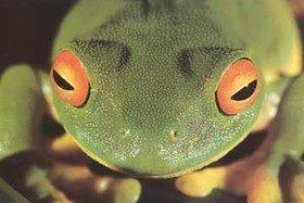Знакомимся: аквариумные лягушки