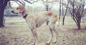 Дисплазия тазобедренного сустава  у собак